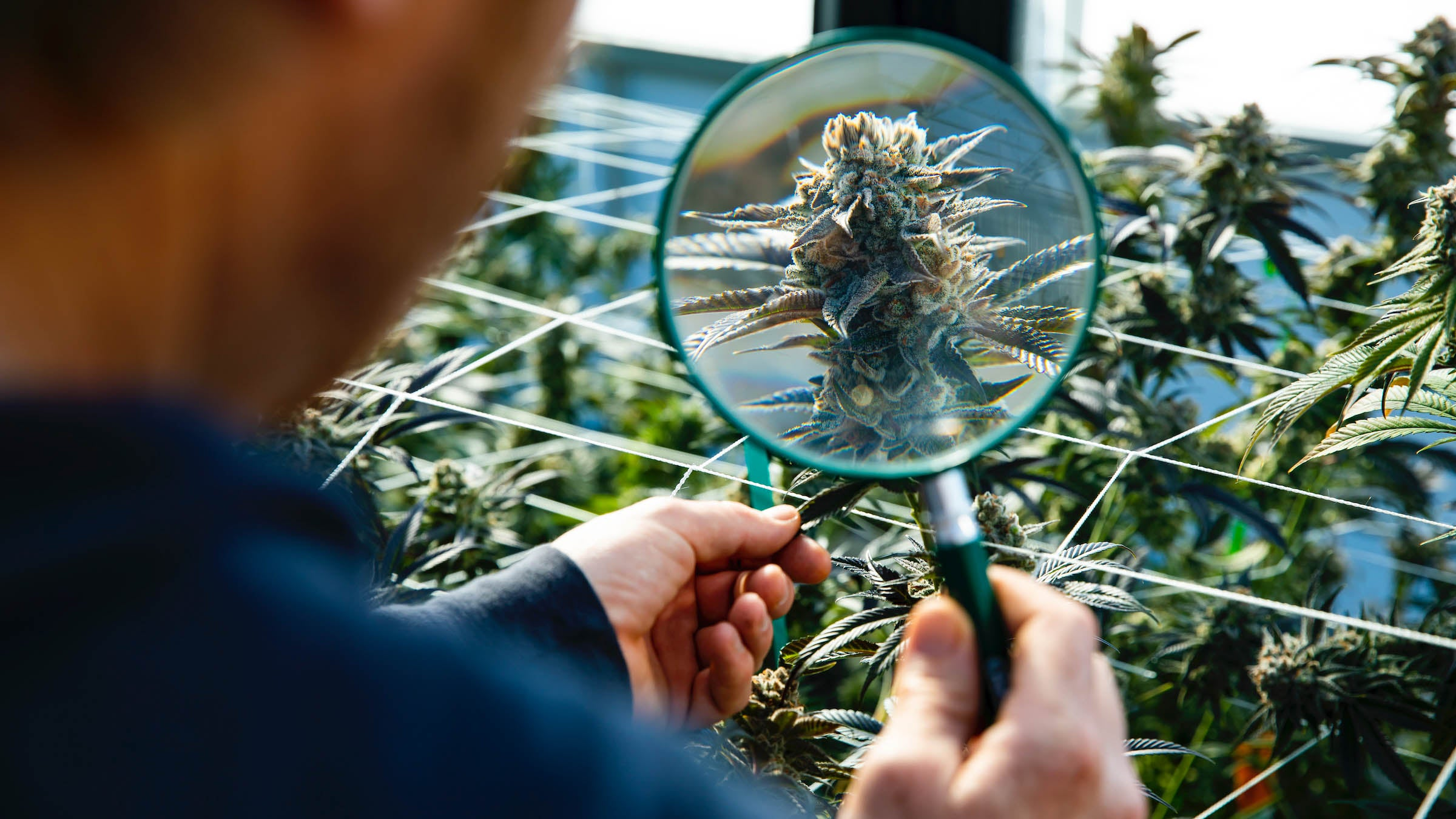 What researchers know (and don't know) about cannabis – VeloNews.com